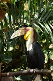 Hornbill. On a branch, Close up shot Royalty Free Stock Photo
