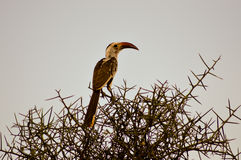 Hornbill on a branch Stock Photography