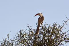 Hornbill on a branch in Stock Image