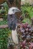 hornbill Branco-coroado Imagem de Stock