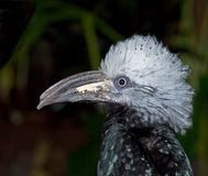 Hornbill (Bucerotidae) Image libre de droits