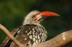 Hornbill Bucerotidae Stock Photo