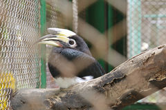Hornbill in cage. Close up hornbill in cage Stock Photo