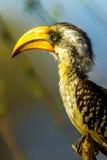 Hornbill cargado en cuenta amarillo del este Foto de archivo libre de regalías