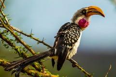 Hornbill cargado en cuenta amarillo del este Imagen de archivo