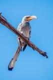 Hornbill cargado en cuenta amarillo meridional Foto de archivo libre de regalías