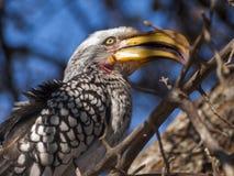 Hornbill. In the Central Kalahari Game Reserve, Botswana Royalty Free Stock Image