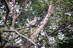 Hornbill cinzento indiano imagens de stock