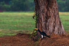 Hornbill. The hornbill close to the tree Stock Photos