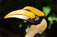 Hornbill. Close up head shot Royalty Free Stock Photos