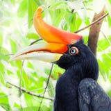 Hornbill. Closup portrait of a hornbill Royalty Free Stock Images