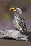 Hornbill dal becco giallo immagine stock