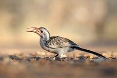 hornbill damara Стоковые Фотографии RF