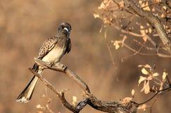 Hornbill de gris africain Photographie stock