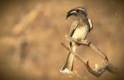 Hornbill de gris africain Photo libre de droits
