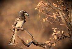 Hornbill de gris africain Image libre de droits