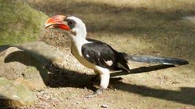 Hornbill de Male Von der Decken Imágenes de archivo libres de regalías