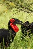 Hornbill de tierra Foto de archivo libre de regalías
