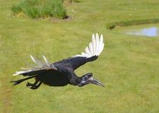 Hornbill de tierra abisinio en vuelo Imagenes de archivo