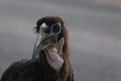 Hornbill de tierra joven Imagen de archivo libre de regalías