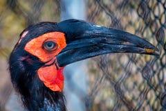 Hornbill de tierra meridional Fotos de archivo libres de regalías