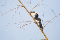 Hornbill de varios colores de Malabar Foto de archivo libre de regalías