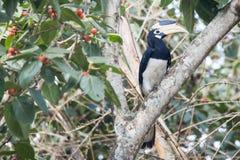 Hornbill de varios colores de Malabar Imagen de archivo libre de regalías
