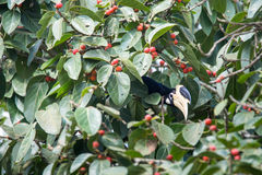 Hornbill de varios colores de Malabar Fotos de archivo libres de regalías