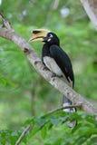 Hornbill de varios colores oriental Foto de archivo