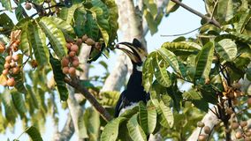 Hornbill de varios colores oriental
