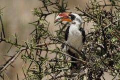 Hornbill de Von Der Decken's, Tanzanie Photo stock