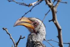 Hornbill de Yellowbilled Fotos de Stock Royalty Free