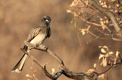 Hornbill di Grey africano Fotografia Stock