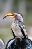 Hornbill di Yellowbilled Fotografia Stock