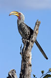 Hornbill di Yellowbilled - Botswana Immagine Stock