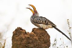 Hornbill die mieren vangt Royalty-vrije Stock Foto