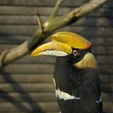 Hornbill do rinoceronte Fotos de Stock