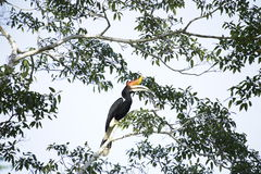 Hornbill do rinoceronte Fotos de Stock Royalty Free