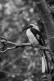 Hornbill do ` s de Von der Decken Imagem de Stock Royalty Free