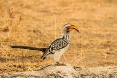 Hornbill em África do Sul Foto de Stock Royalty Free