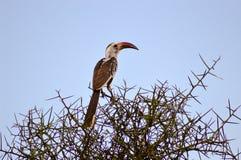Hornbill em um ramo Imagem de Stock Royalty Free