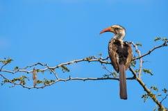 Hornbill en árbol con el cielo Imagen de archivo libre de regalías