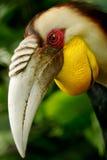 Hornbill enrrollado Fotos de archivo libres de regalías