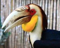 Hornbill enrrollado Imagen de archivo