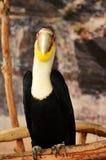 Hornbill enrrollado Imagen de archivo libre de regalías