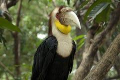 Hornbill envolvido Fotografia de Stock Royalty Free