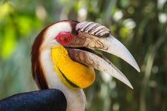 Hornbill envolvido no parque do pássaro da ilha de Bali Fotos de Stock