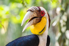 Hornbill envolvido no parque do pássaro da ilha de Bali Fotos de Stock Royalty Free