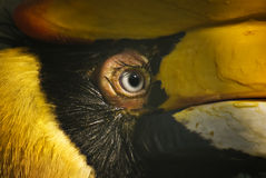 Hornbill eye Royalty Free Stock Photos