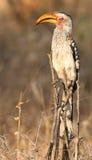 Hornbill fatturato colore giallo Fotografia Stock
